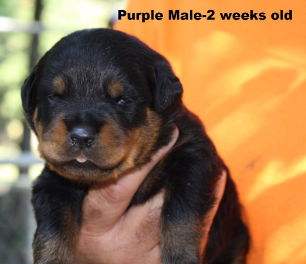 Purple Male